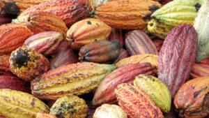 Bunte Kakaofrüchte