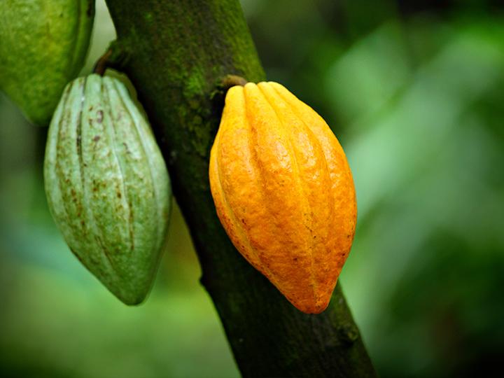 Kakaofrüchte am Kakaobaum