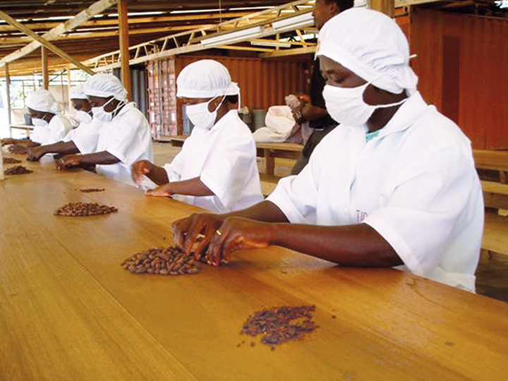 Sortieren der Kakaobohnen